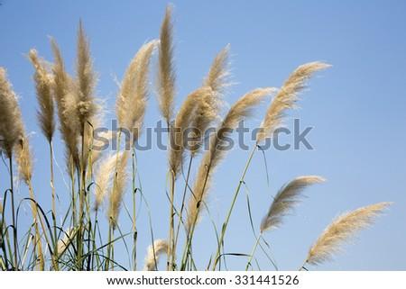 reeds of grass - stock photo