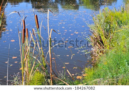 Reeds on the pond in the autumn - stock photo