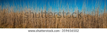 Reeds waving in autumnal sunlight - stock photo