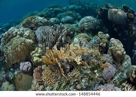 Reef-building corals (Acropora sp.) grow in shallow water in the Solomon Islands. This region is known for its spectacular marine diversity. - stock photo