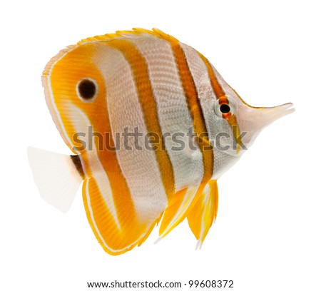 reef fish, marine fish, beak coralfish, copperband butterflyfish, isolated on white - stock photo