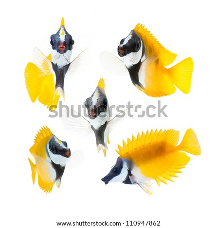 reef fish, yellow fox face rabbitfish isolated on white background - stock photo