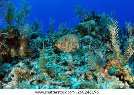 Reef Grouper, Grand Cayman - stock photo