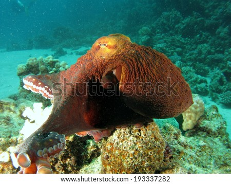 Reef Octopus (Octopus cyaneus) posing for camera and playing around the corals. Red Sea, Marsa Alam. - stock photo