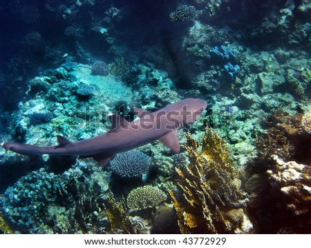 Reef shark in Red sea - stock photo
