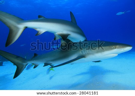 Reef Sharks (Carcharhinus) - stock photo