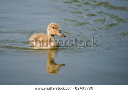 Reflected duckling - stock photo
