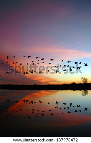 Reflection of Canadian geese flying over wildlife refuge with a wild red sunset, San Joaquin Valley, California - stock photo