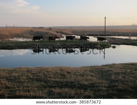 Reflection of five cows in the river walking at sunset from pastures - stock photo