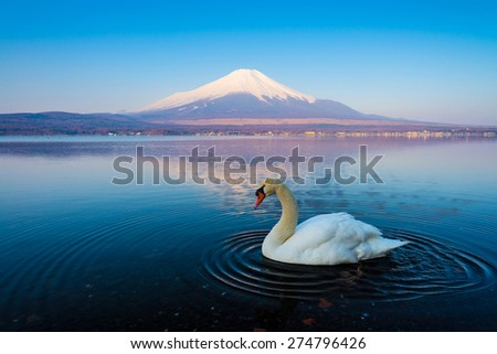 Reflection of Mt Fuji and White swan at lake Yamanaka. - stock photo