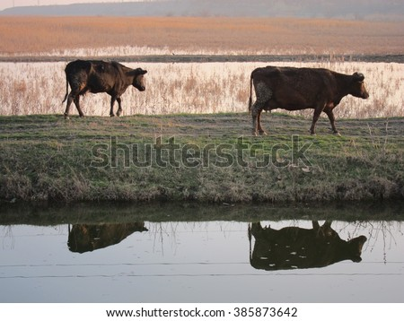 Reflection of two cows in the river walking at sunset from pastures - stock photo