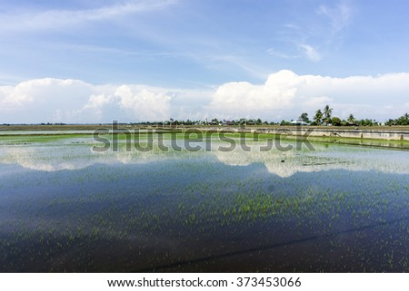 Reflection paddy field during daytime. - stock photo