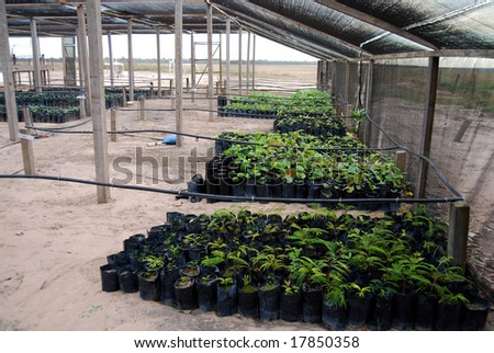 Reforestation in the Amazon: palm tree seedlings in a greenhouse ready to be planted to regrow destroyed rainforest - stock photo