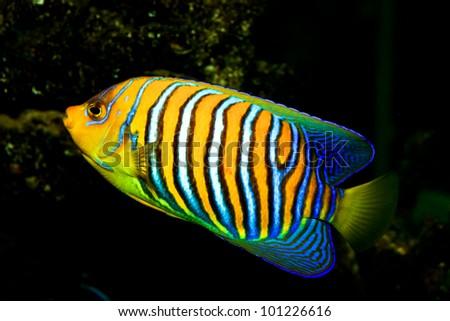 Regal Angelfish - stock photo