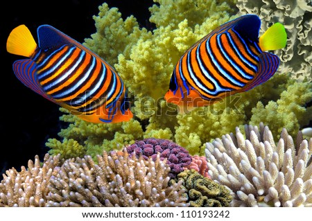Regal Angelfish in the Red Sea, Egypt - stock photo