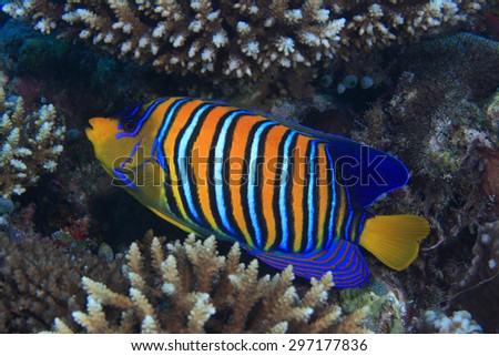 Regal angelfish (Pygoplites diacanthus) in the coral reef  - stock photo