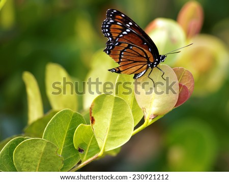 Regal Monarch Butterfly posing on foliage - stock photo