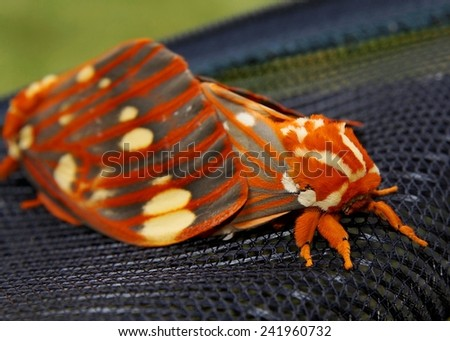 Regal Moth, Citheronia regalis - a pair of huge colorful butterflies mating on an outdoor screen - one of the largest in North America (macro focus on face) - stock photo