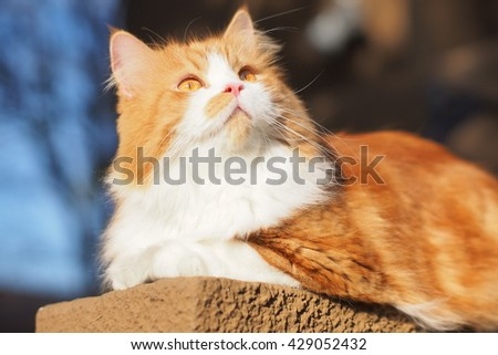 Regal Orange Long Haired Bi Color Doll Face Traditional Persian Cat With Orange Eyes Laying on Ledge Looking Upwards to the Side - stock photo