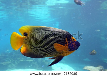 Regal Spotted Angelfish (Pomacanthus xanthometapon) swimming over ...
