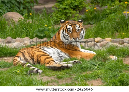 Regal tiger laying in a grass