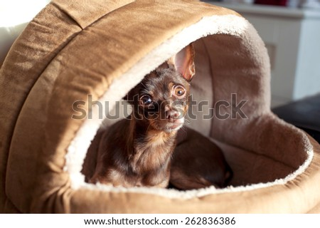 Regardant eyes of small brown toy-terrier dog in pet house. Indoors. - stock photo