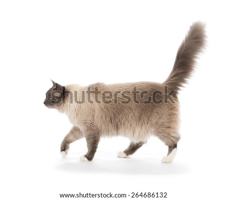 Regdoll cat walking isolated on a white background - stock photo