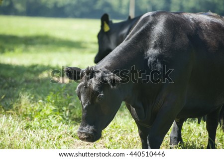 Registered Angus Cattle  in the field