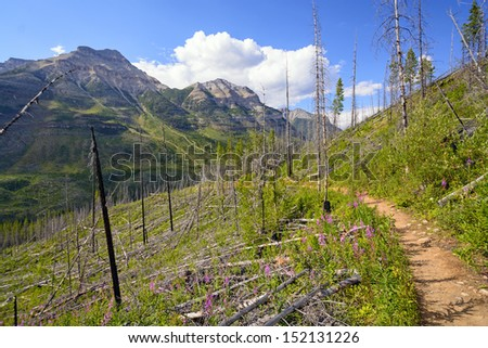 Regrowth on the Stanley Glacier trail in Kootenay National Park in British Columbia - stock photo