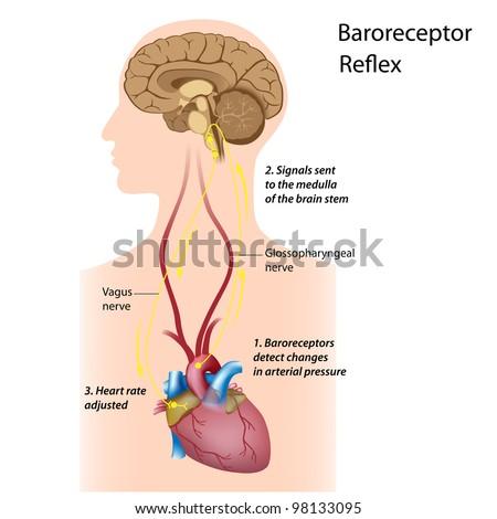 Regulation Blood Pressure Stock Illustration 98133095 Shutterstock