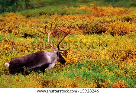 Reideer walking in the autumn landscape. - stock photo