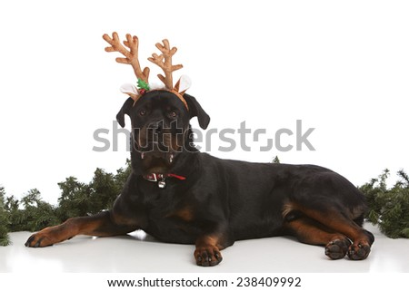 Reindeer.  Adorable rottweiler wearing a pair of antlers.  Isolated on white. - stock photo