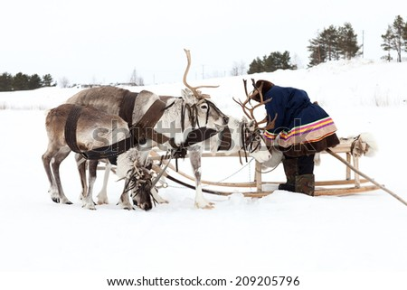 Reindeer are in harness during on snow. Shepherd is standing beside sledges.  - stock photo