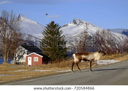 Reindeer crosses the street, Norway, Scandinavia, Europa