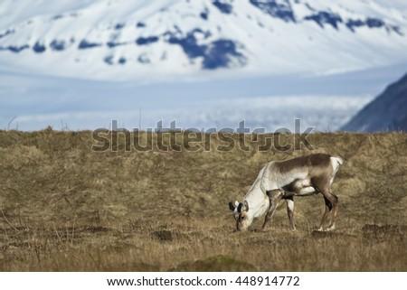 Reindeer eats grass - stock photo