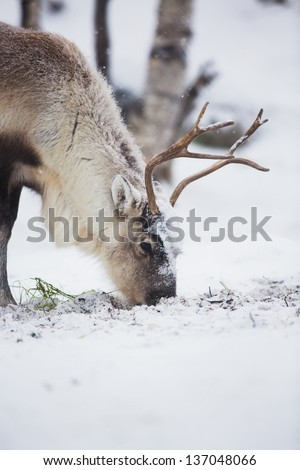 Reindeer eats grass in Norwegian forest a cold winter. - stock photo
