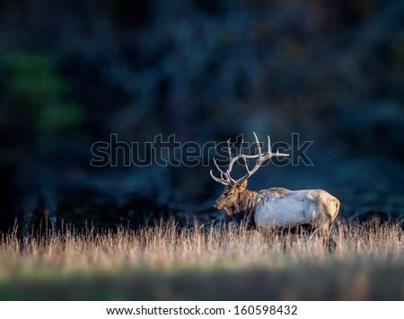 Reindeer, elk, with full head of antlers - stock photo
