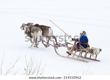 Reindeer herders racing on holiday. Shepherds competing in the speed of their reindeer teams. Deer quickly running in the snow. - stock photo