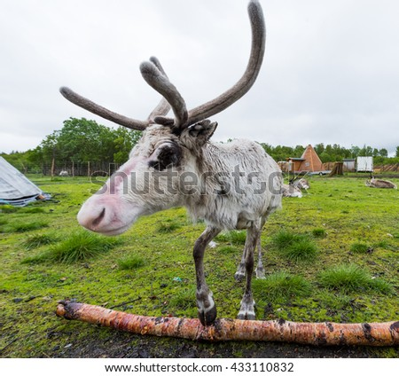 reindeer in its natural environment in scandinavia  - stock photo