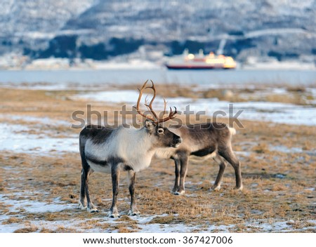 reindeer in its natural environment in scandinavia .Tromso - stock photo
