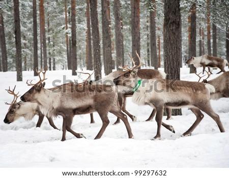 reindeer in its natural winter habitat in the north of Sweden - stock photo