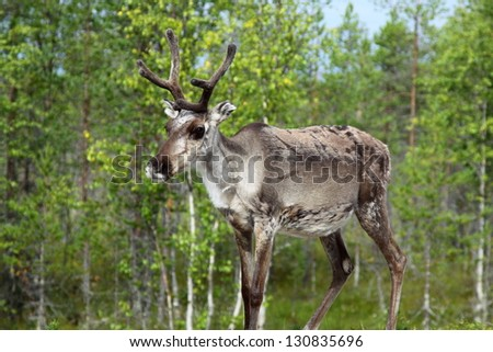 Reindeer in the northern part of Norway - stock photo