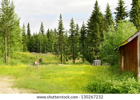 Reindeer on a flowering field. Northern Finland - stock photo