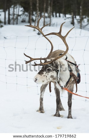 Reindeer on a reindeer farm in Finland in the winter - stock photo