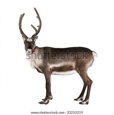 reindeer, side view, looking at the camera in front of a white background - stock photo