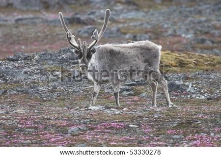 Reindeer, Svalbard - stock photo