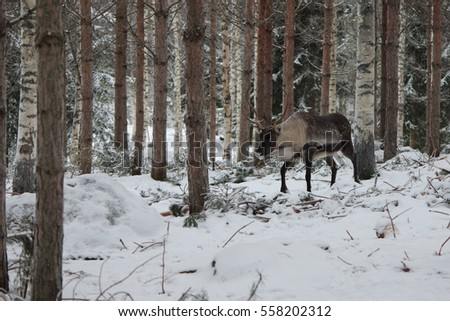 Reindeer with big horns in the winter forest