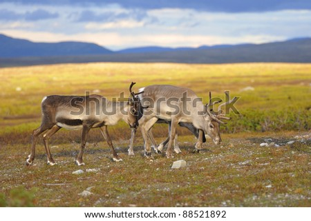 Reindeer, with young animals, when eaten. - stock photo