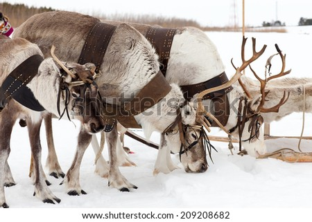 Reindeers are in harness during of winter day.  - stock photo