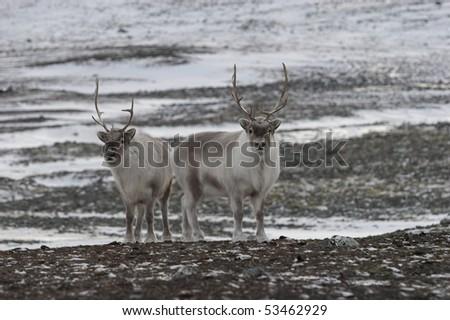 Reindeers on frozen tundra - stock photo